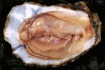 vagina-oyster-pic-e1440131589276